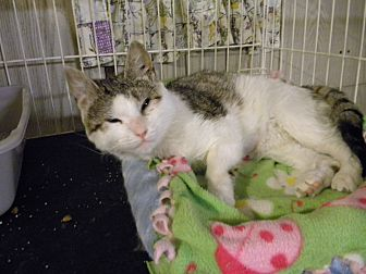 Domestic Shorthair Cat for adoption in Bartlett, Illinois - Maggie