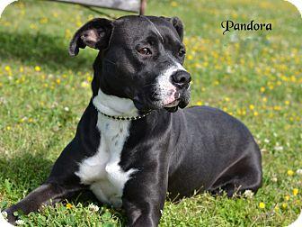 Boxer/Great Dane Mix Dog for adoption in Sioux City, Iowa - PANDORA