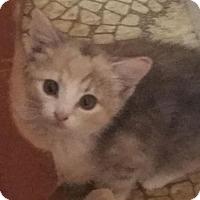 Adopt A Pet :: Kokomo - Harrisonburg, VA