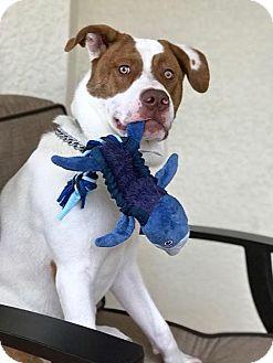 Australian Cattle Dog Mix Puppy for adoption in Englewood, Florida - Wilson (Mattie)