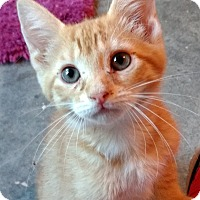 Domestic Shorthair Kitten for adoption in Armuchee, Georgia - Tango
