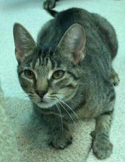 Domestic Shorthair/Domestic Shorthair Mix Cat for adoption in Evansville, Indiana - Mia