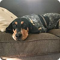Adopt A Pet :: Bonnie - Media, PA