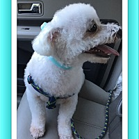 Bichon Frise Dog for adoption in Tulsa, Oklahoma - Adopted!! Prince - S.TX