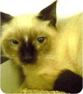 Siamese Kitten for adoption in San Clemente, California - YING