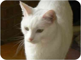 Domestic Shorthair Cat for adoption in Clarksville, Indiana - Pippen