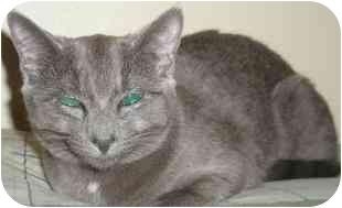 Russian Blue Kitten for adoption in Medford, Massachusetts - Miley