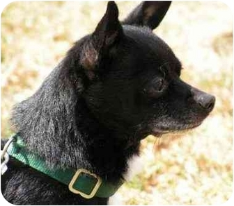 Chihuahua/Poodle (Miniature) Mix Dog for adoption in Rigaud, Quebec - Odie
