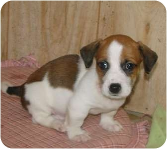 Jack Russell Terrier Mix Puppy for adoption in Mt Airy, North Carolina - Devin
