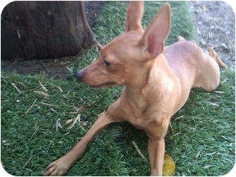 Miniature Pinscher Dog for adoption in Sun Valley, California - Bambi