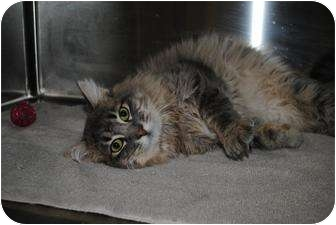 Domestic Longhair Cat for adoption in Yuba City, California - Ronald (Unknwn Age)