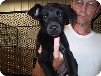Labrador Retriever Mix Puppy for adoption in Waterbury, Connecticut - Zippon