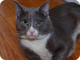 Russian Blue Cat for adoption in Brooklyn, New York - Humphrey Jr