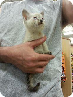 Siamese Kitten for adoption in Smyrna, Georgia - Dusk
