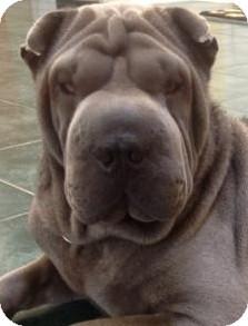Shar Pei Dog for adoption in Barnegat Light, New Jersey - Berri
