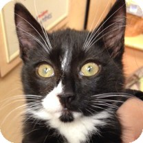 Domestic Shorthair Kitten for adoption in Weatherford, Texas - Whiskers
