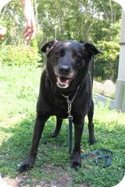 German Shepherd Dog/Retriever (Unknown Type) Mix Dog for adoption in Gloucester, Massachusetts - Samson