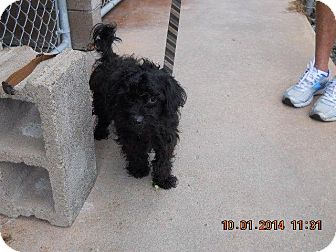 Poodle (Miniature) Mix Dog for adoption in Baltimore, Maryland - Yancy
