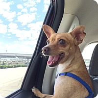 Adopt A Pet :: Dolly - Mission Viejo, CA