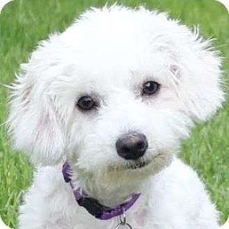 Bichon Frise Mix Puppy for adoption in La Costa, California - Whitney