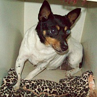 Fox Terrier (Smooth) Mix Dog for adoption in Butler, Ohio - Meg