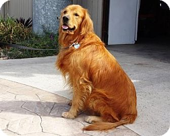 Golden Retriever Dog for adoption in Lathrop, California - Kobe
