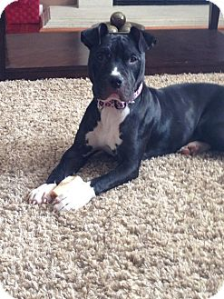 American Pit Bull Terrier/American Staffordshire Terrier Mix Dog for adoption in Warrenville, Illinois - Maya