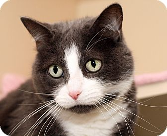 Domestic Shorthair Cat for adoption in Royal Oak, Michigan - EMMA ROO