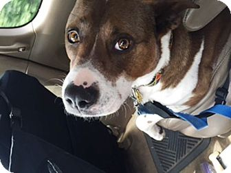 American Staffordshire Terrier Mix Dog for adoption in Radford, Virginia - Fabulous Phoebe