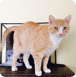 Domestic Shorthair Cat for adoption in Harrisburg, North Carolina - Jake