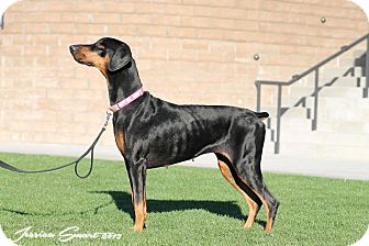 Doberman Pinscher Dog for adoption in Phoenix, Arizona - Mia