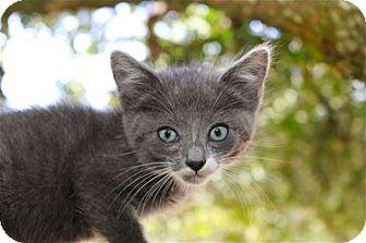 Domestic Shorthair Kitten for adoption in Lincoln, California - Klara