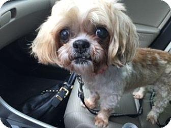 Lhasa Apso Mix Dog for adoption in Houston, Texas - Rosie