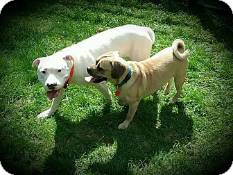 Pug Mix Dog for adoption in Sharon Center, Ohio - Einstein- PENDING