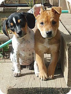 Beagle Puppy for adoption in Minot, North Dakota - River