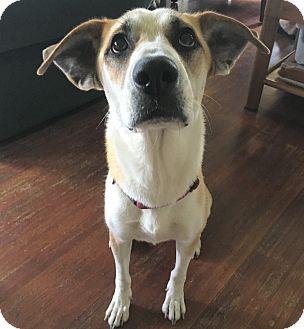 Shepherd (Unknown Type) Mix Dog for adoption in Portland, Oregon - Rae