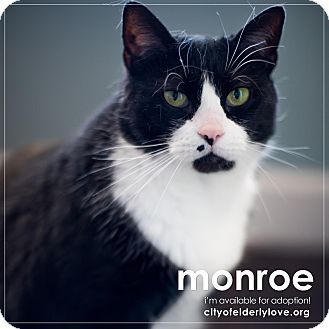 Domestic Shorthair Cat for adoption in Philadelphia, Pennsylvania - MONROE!