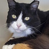 Adopt A Pet :: Sweet Pea - St Helena, CA