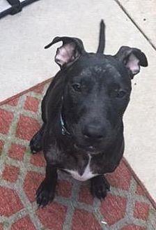 Labrador Retriever/Pointer Mix Dog for adoption in Fort Collins, Colorado - Eve