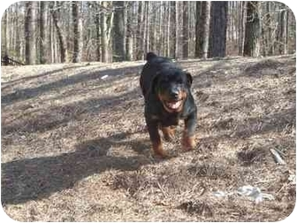 Rottweiler Puppy for adoption in Buford, Georgia - Cara and Bella