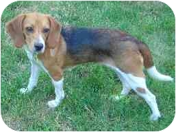 Beagle Dog for adoption in Portland, Ontario - Annie