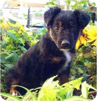 German Shepherd Dog/Australian Shepherd Mix Puppy for adoption in Marina del Rey, California - Mattie