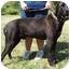 Photo 2 - Labrador Retriever/Rottweiler Mix Dog for adoption in North Judson, Indiana - Benson
