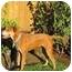 Photo 2 - Rhodesian Ridgeback/Boxer Mix Dog for adoption in Burbank, California - Evie