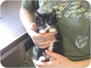 Domestic Shorthair Kitten for adoption in Libby, Montana - D.J.