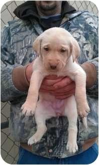 Labrador Retriever Mix Puppy for adoption in berwick, Maine - Dixie