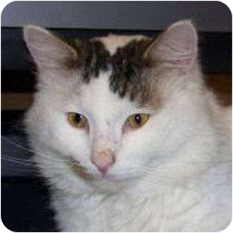 Domestic Mediumhair Cat for adoption in Weatherford, Texas - Snickers