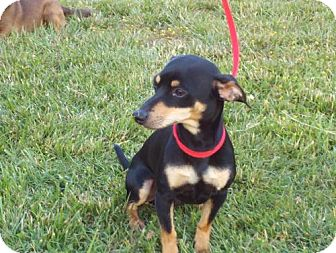 Chihuahua/Dachshund Mix Dog for adoption in Spring Valley, New York - Black Jack