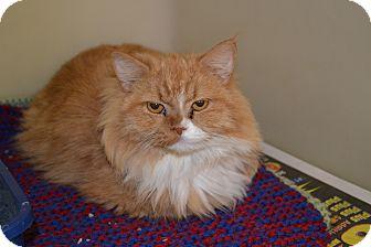 Persian Cat for adoption in Edwardsville, Illinois - Montana