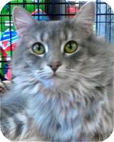Maine Coon Cat for adoption in Atlanta, Georgia - Sophie